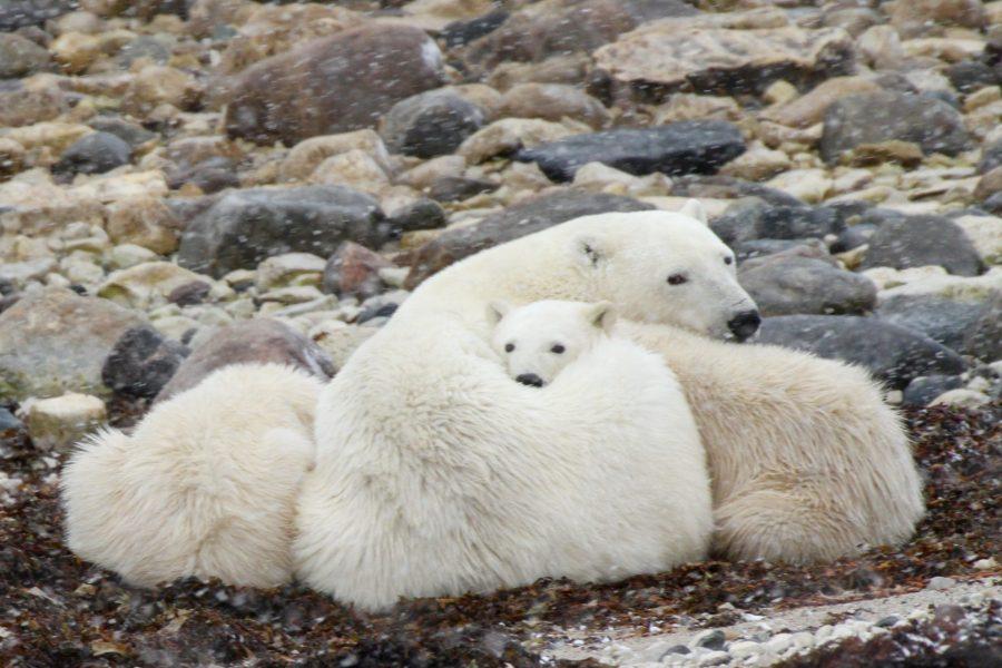 CM Travels | Polar Bear
