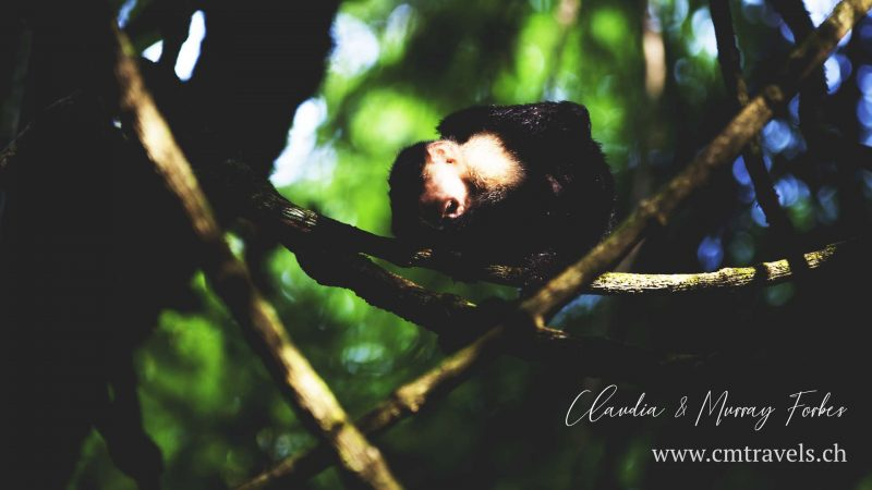 Costa-Rica-CM-Travels-capucian-monkey-lemon